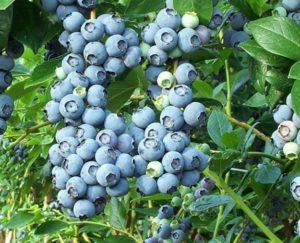 Голубика – плоды